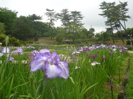 東公園花菖蒲(しょうぶ)まつり