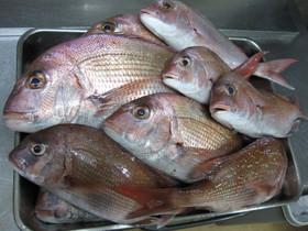 師崎沖でスタッフ自ら釣りあげた真鯛です。