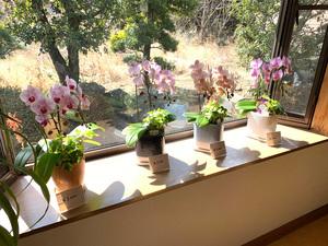 週替わりで生産農場の温室から咲きたて胡蝶蘭を飾っています。店内で購入しお持ち帰りもできますので、お気軽にお声がけください。